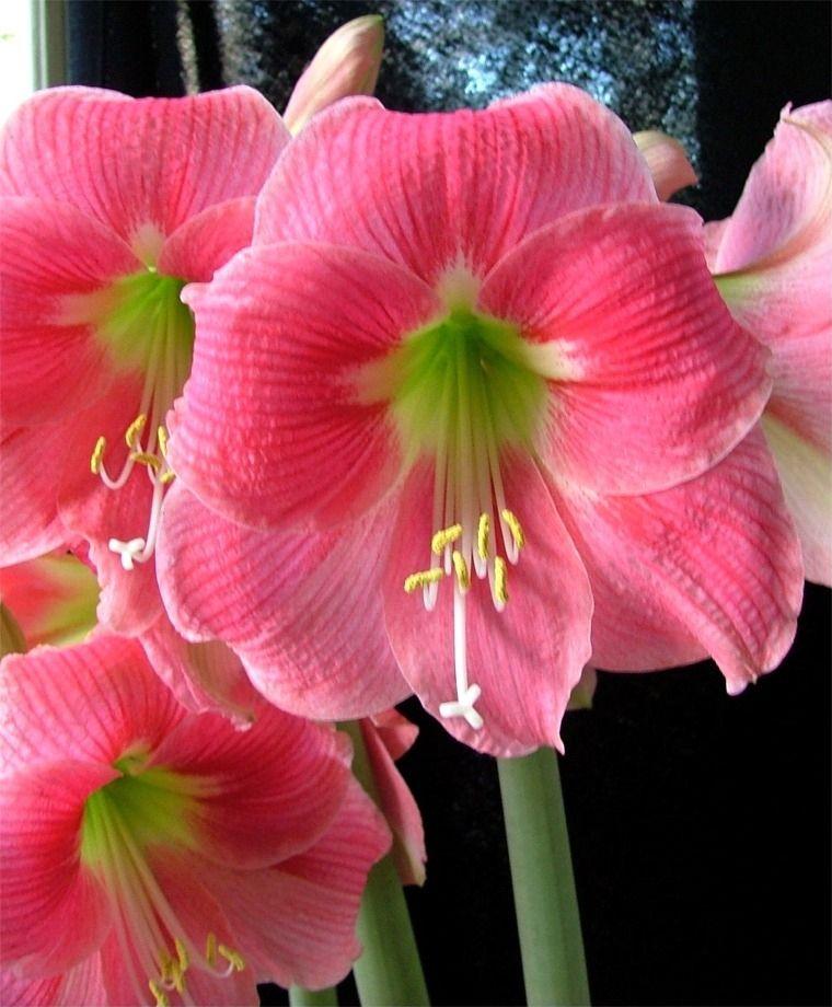 Amalfi single amaryllis christmas flowering single for Amaryllis rose