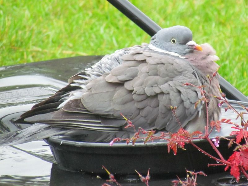 Wood pigeon enjoying a bath in the rain. | Wood pigeon, Bird garden