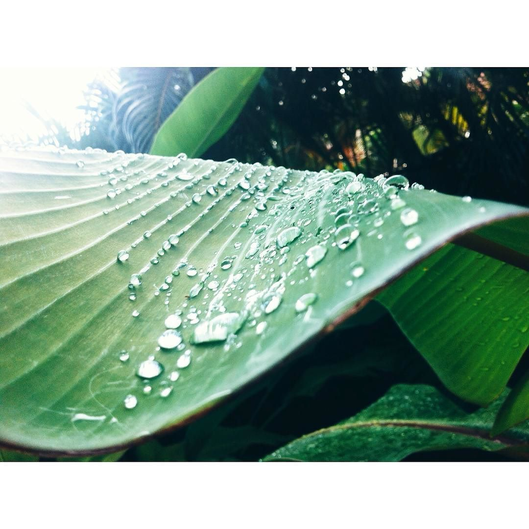 "Repost from Instagram ! #WeLike ! #Madinina by @charln_128 "" #rain#on#the#leaf#beads#water#bananier#bananatree#banana#sainteanne#martinique#madinina#antilles#caraibes#caribbean#holiday#picoftheday#green#love#take#pictures"" http://ift.tt/1TwyuHK"