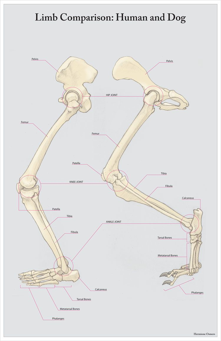 Human/Dog limb comparison, by Hermione Osmers | Expertise/Career ...