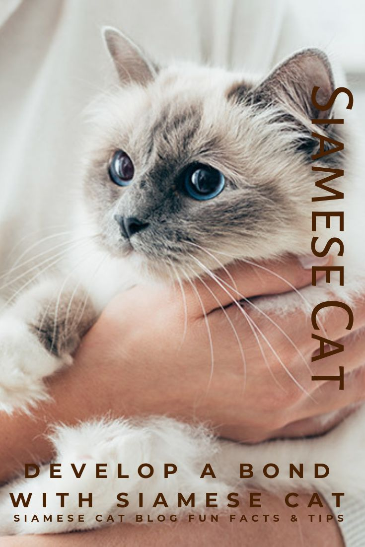 How To Bond With Your Siamese Cat A Step By Step Guide Siamese Cats Cats Siamese Kittens