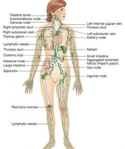 Lymph Nodes Of The Body Diagram Google Search Anatomical