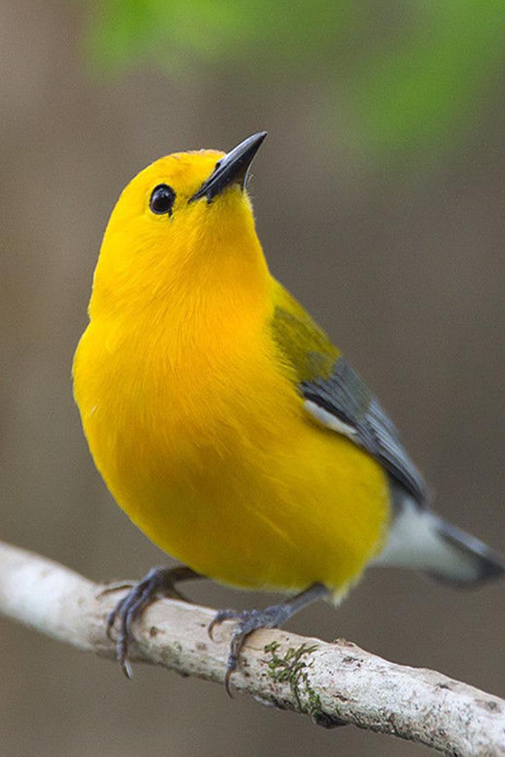 Prothonotary Warbler Information Bird Pets Animals Pet Birds Colorful Birds Animals