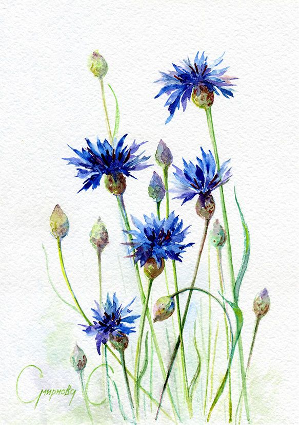 Рисунок василька синего