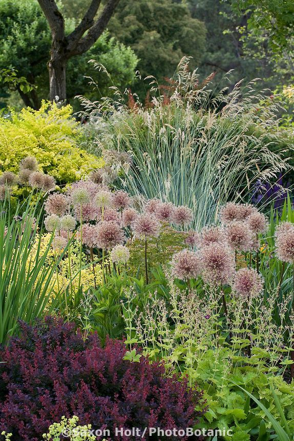 Photo of Planteteppe laget av ornamentale løkfrøhoder (Allium) gresser stauder og # allium …