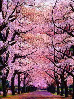 Chary Bloss Pink Mobile Wallpaper Wallpaper Cute Wallpaper Backgrounds