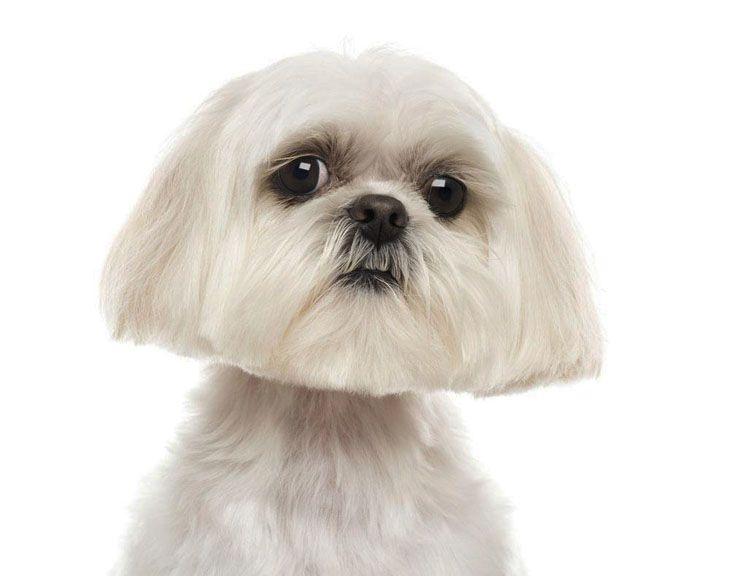 Shih Tzu Names Cute Male Female Ideas For This Dog Shih Tzu