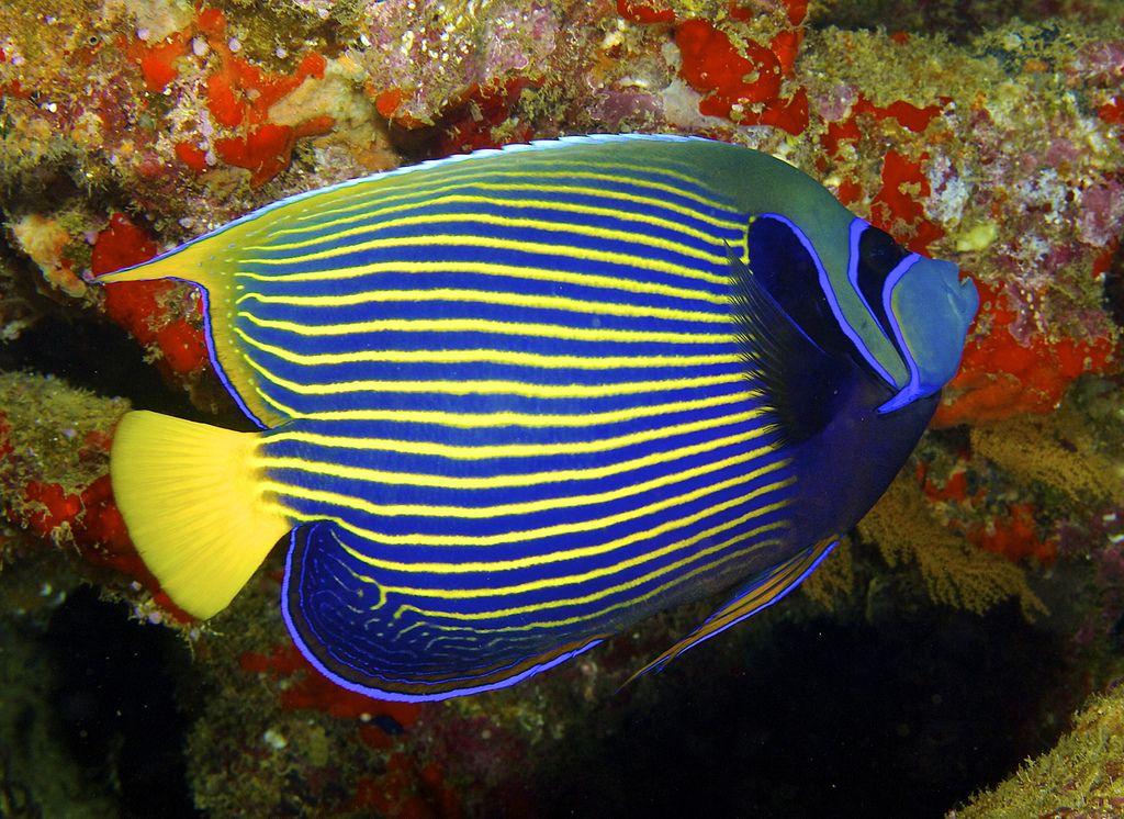 Emperor Angelfish In 2020 Saltwater Aquarium Fish Tropical Freshwater Fish Saltwater Fish Tanks