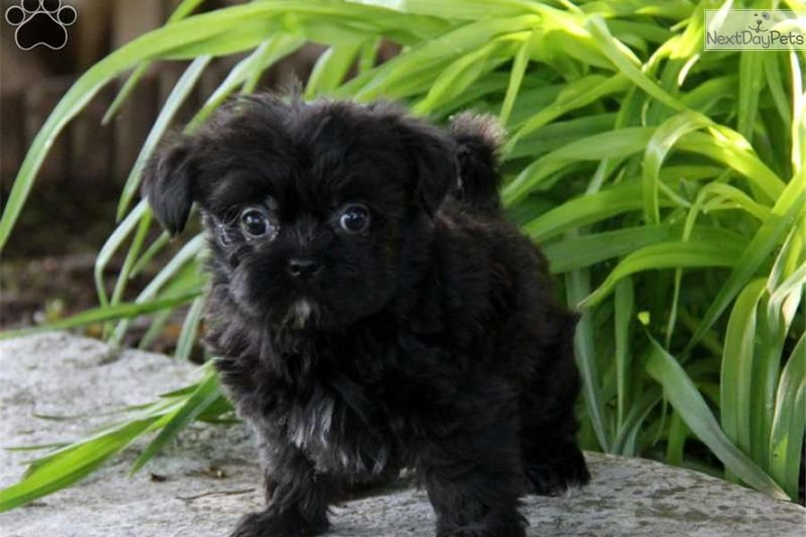 Standard poodle puppies for sale under 500