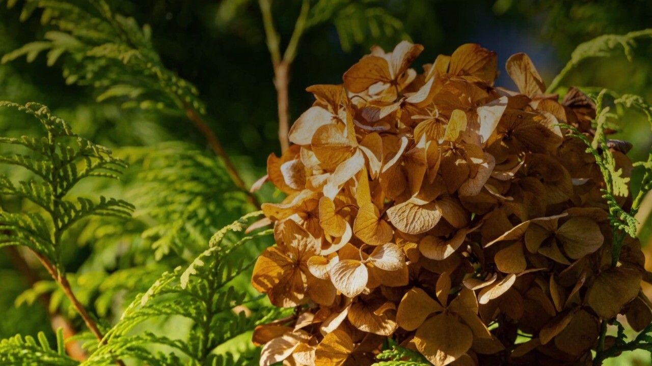 Why Are My Hydrangeas Turning Brown Martha Stewart In 2020 Hydrangea Garden Growing