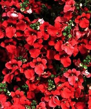 Diascia 'Flying Colors Red'