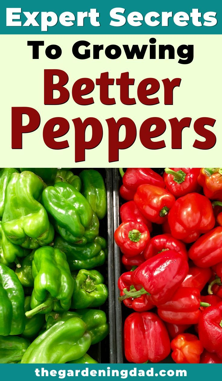 how to germinate pepper seeds indoors