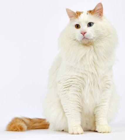 KOTY ŚWIATA/ CATS OF THE WORLD – Kolekcje – Google+- Turkish Van