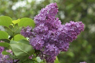 mature move How lilac plants to