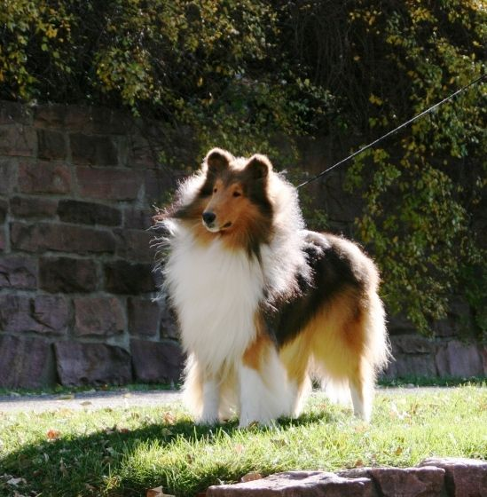 So Cute D Rough Collie Shetland Sheepdog Sheep Dog Puppy