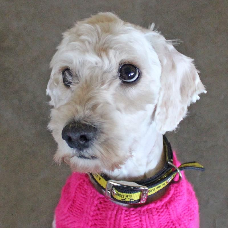 Adopt A Dog Yoda Poodle Miniature Dogs Trust With Images Dogs Dog Adoption