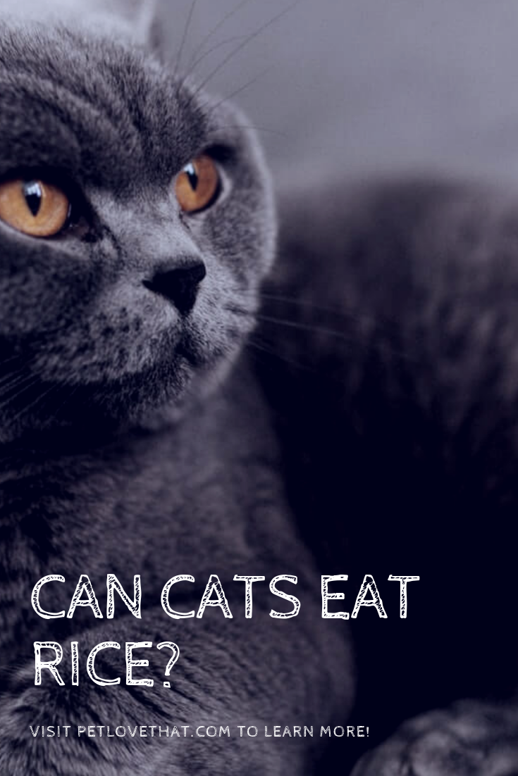 Can Cats Eat Rice? (With images) Cats, Cat questions