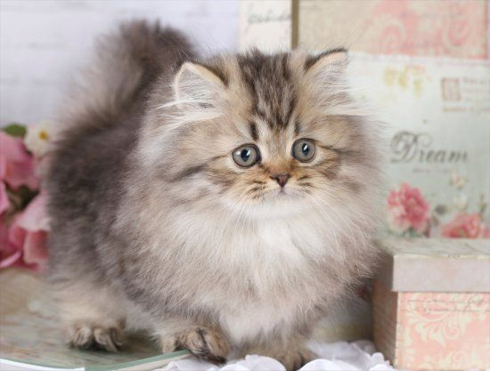 Image detail for Persian Kitten Teacup & Toy