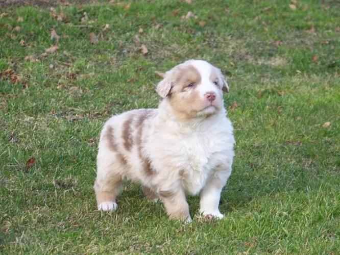 Australian Shepherd Puppies In