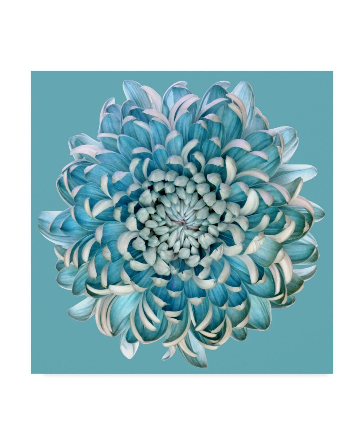 Trademark Global Brian Haslam Blue Chrysanthemum Canvas Art 15 In 2020 Tapete Blumen Glasbilder Fototapete