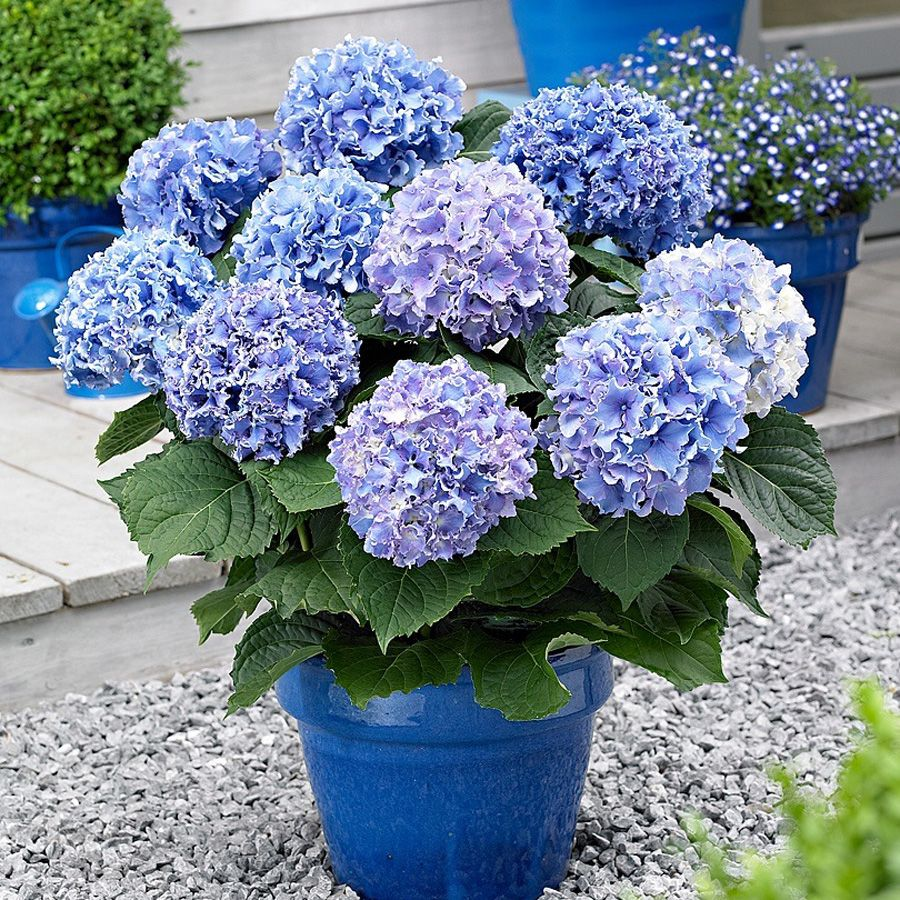 The Simple Guide To Pruning Hydrangea Beautiful There And The Ojays