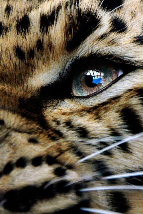 Schones Auge Leopard Eyes Animals Beautiful Amur Leopard