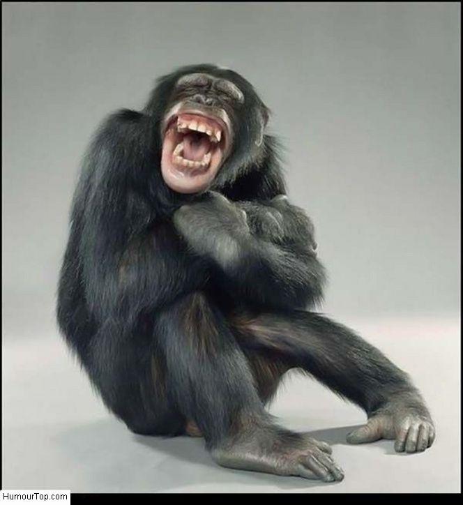 singe qui rigole photo amusante d 39 un chimpanz qui a pris. Black Bedroom Furniture Sets. Home Design Ideas