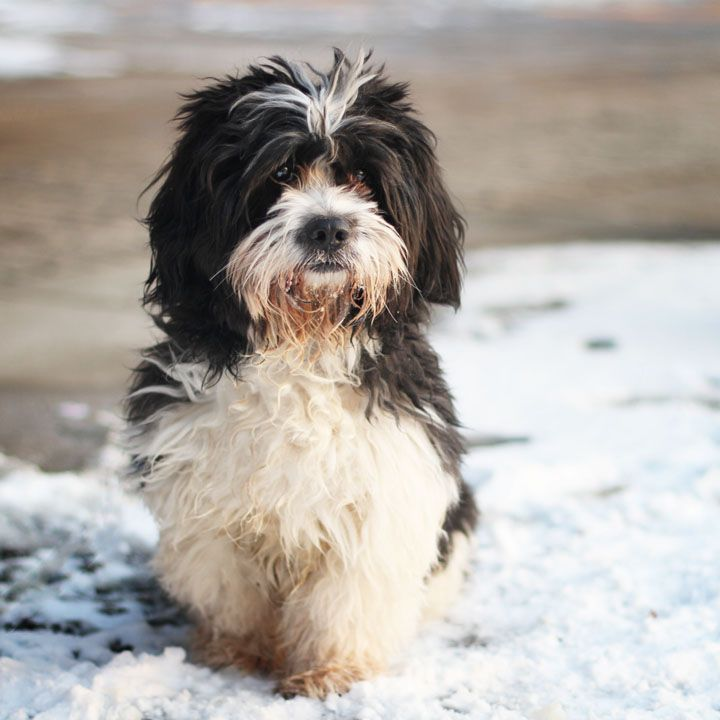 Tibetan Terrier this looks like my Bella when she's all