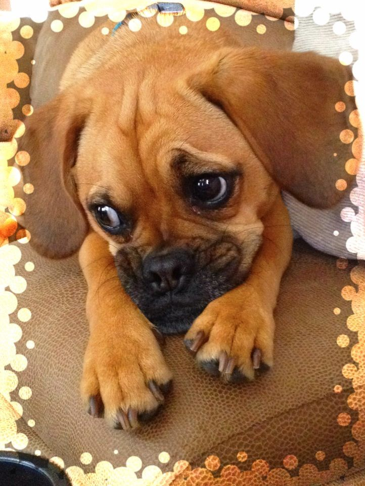 Puggles Are Just Too Cute Puggle Puppies Puggle Cute Dog Pictures