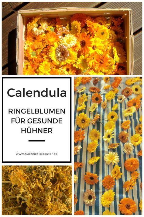 Ringelblumen für Hühner - Calendula Tinktur selbermachen - Bio Hühner Kräuter