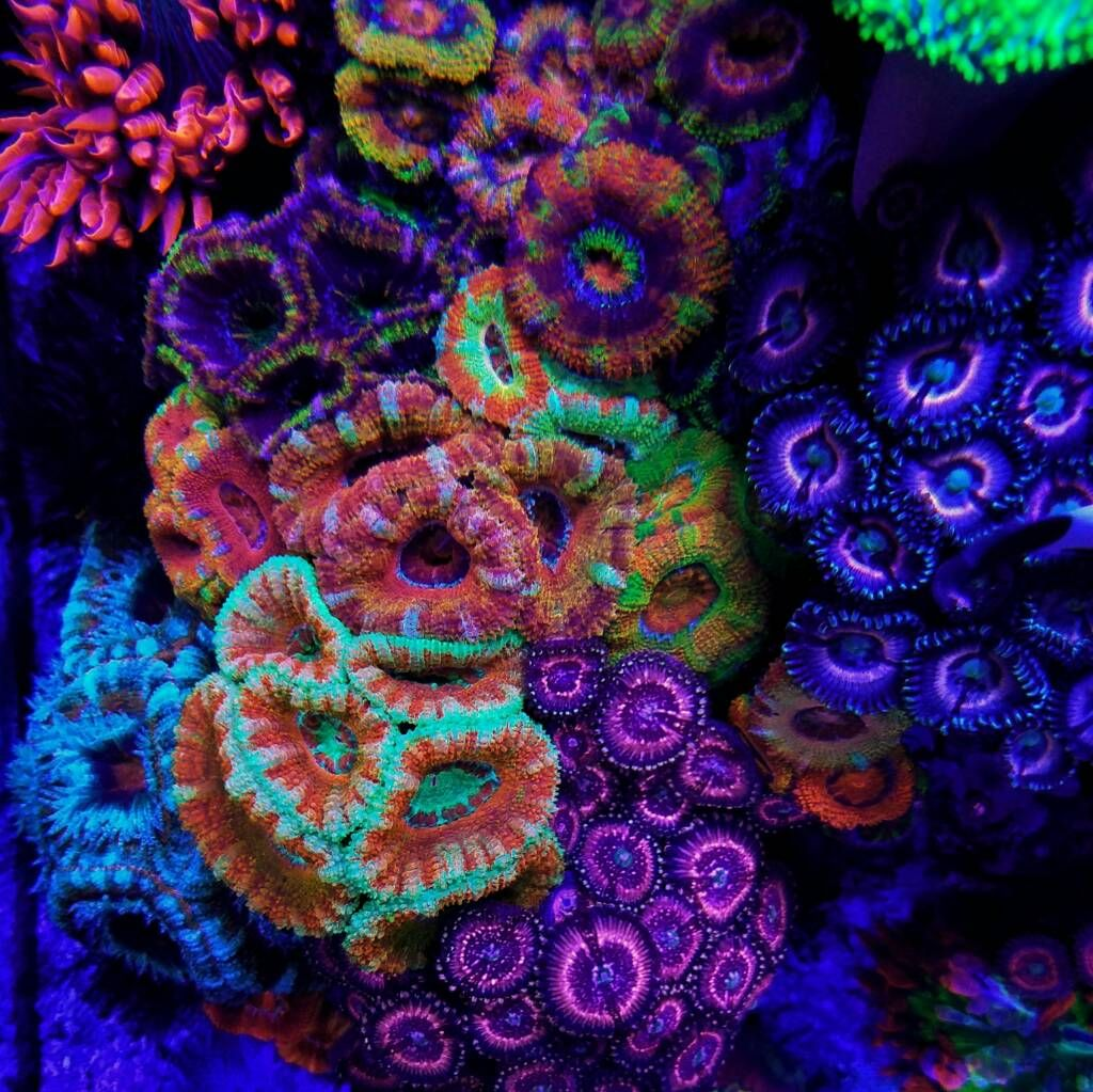 Img 20161028 192702 Jpg Coral Under Black Light In The