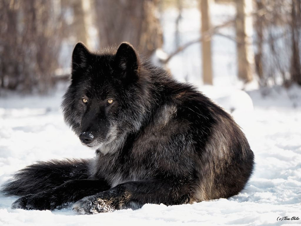Black wolf sitting down