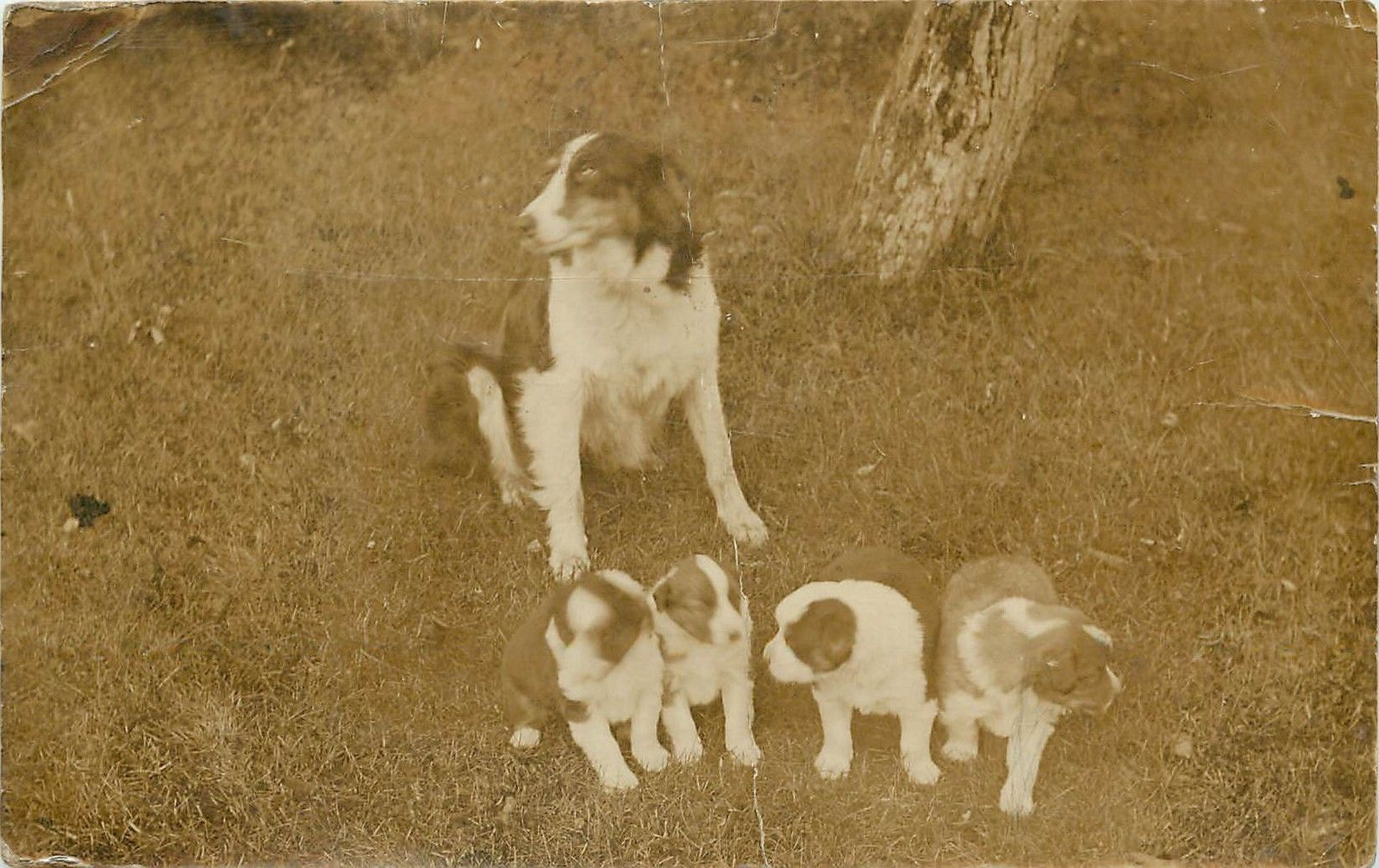 1907-1918 Real Photo Postcard; Border Collie Type Dog