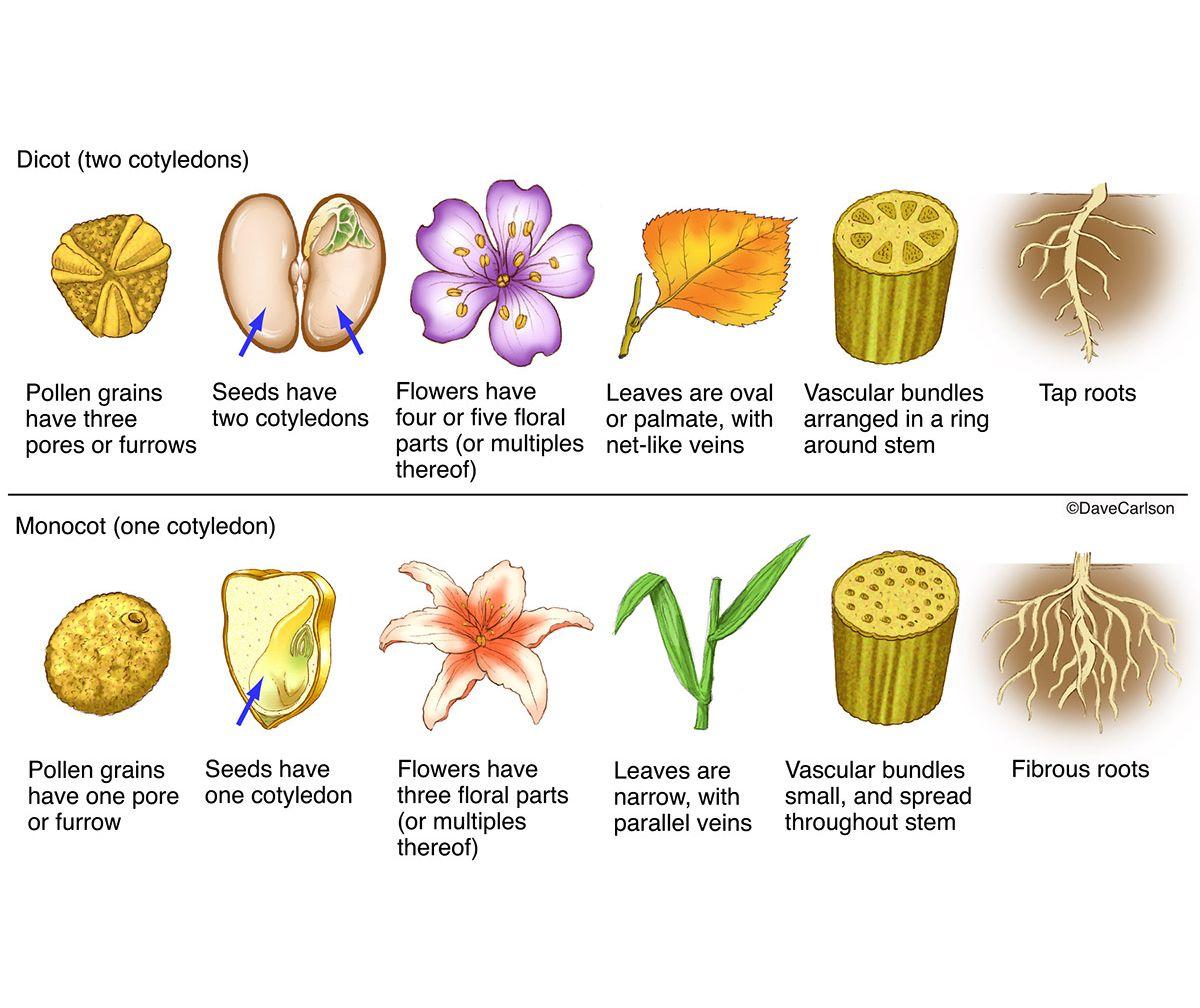 Monocot Vs Dicot Plants Photo