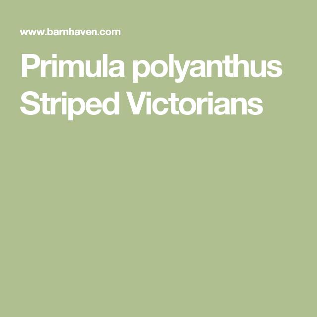 Primula polyanthus Striped Victorians