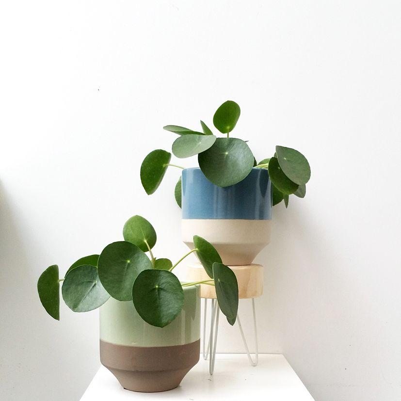 plante pilea peperomioides d co plante int rieure. Black Bedroom Furniture Sets. Home Design Ideas