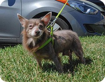 Tampa Fl Chihuahua Pomeranian Mix Meet Todd A Dog For Adoption