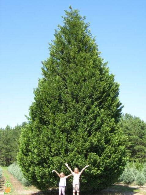Leyland Cypress Tree Leyland Cypress Leyland Cypress Trees Fast Growing Trees