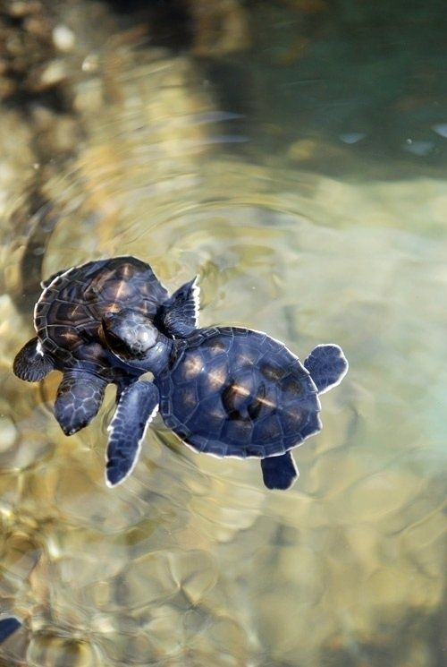 baby sea turtles.