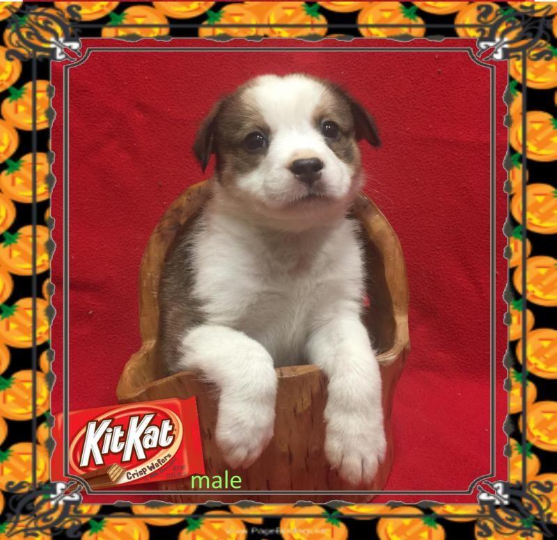 Adopt Kit Kat On Petfinder Australian Shepherd Puppy Adoption Pets