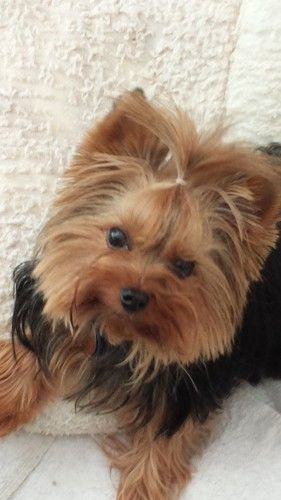 Jacque 400 is an adoptable Yorkshire Terrier Yorkie in