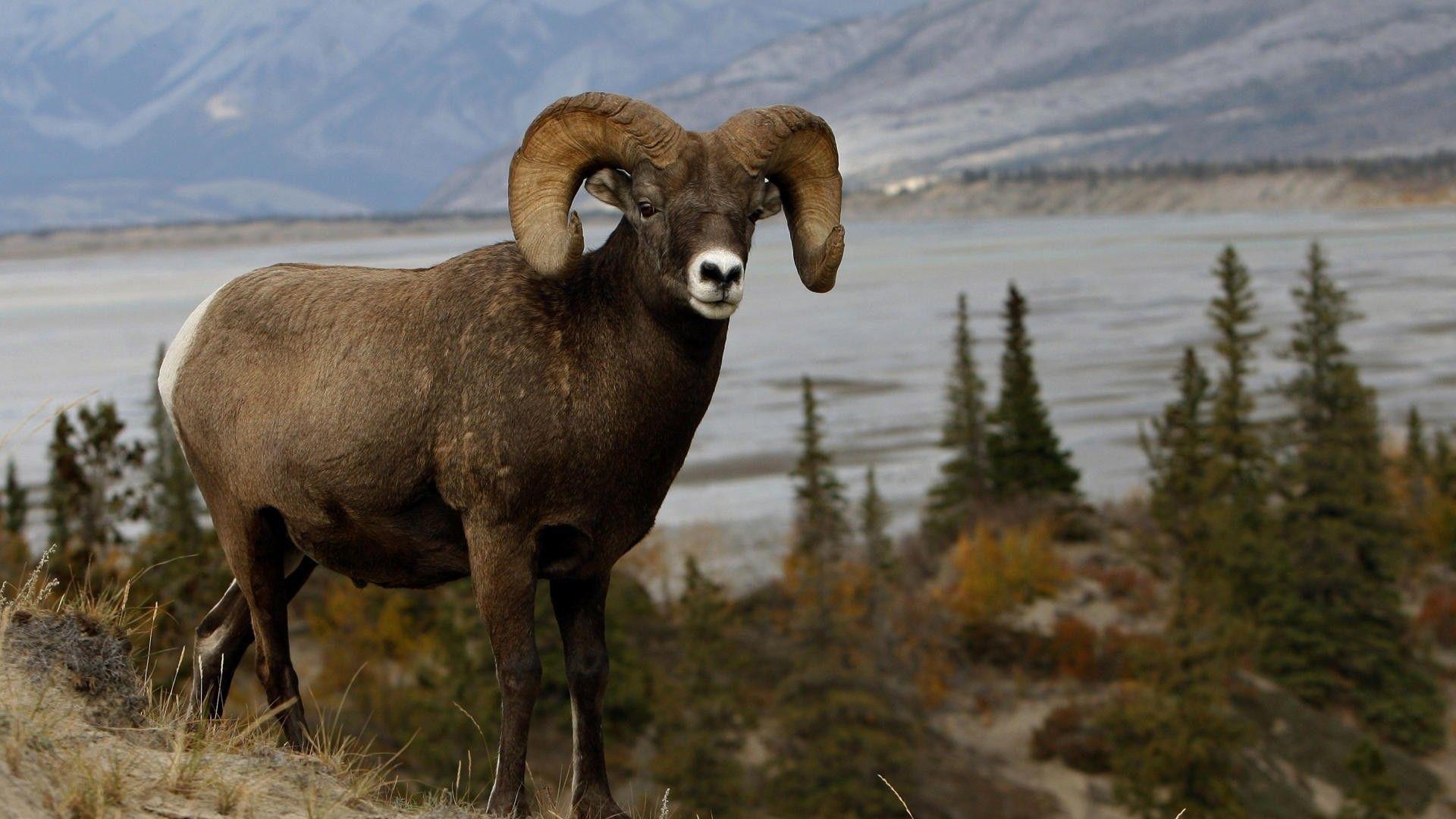 Animals Mountains Nature Ram Sheep Wallpaper Pet Birds North American Animals Animals
