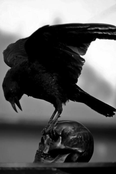 corvos - jacareiencantado.com