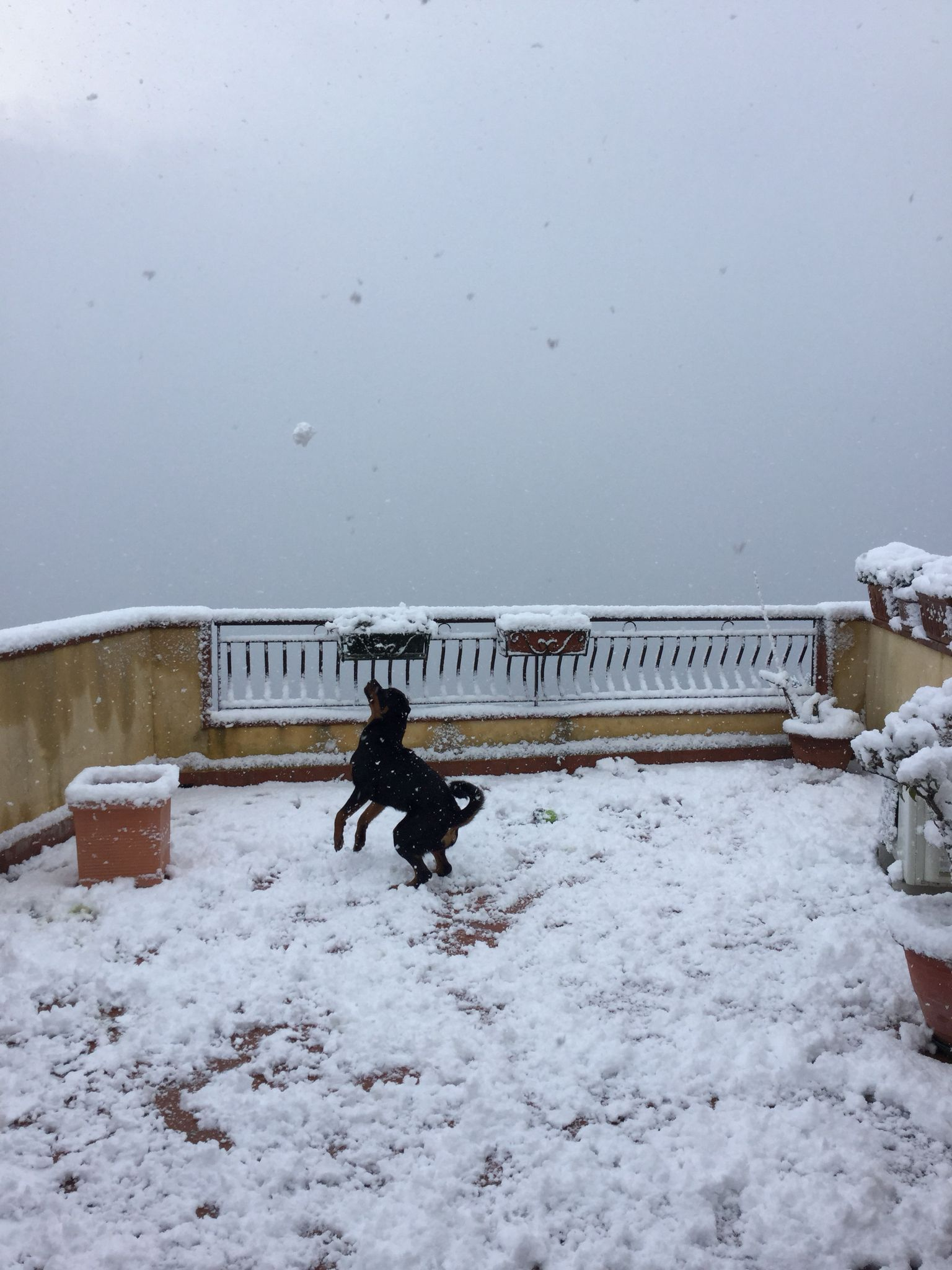 My Rottweiler playing under the snow