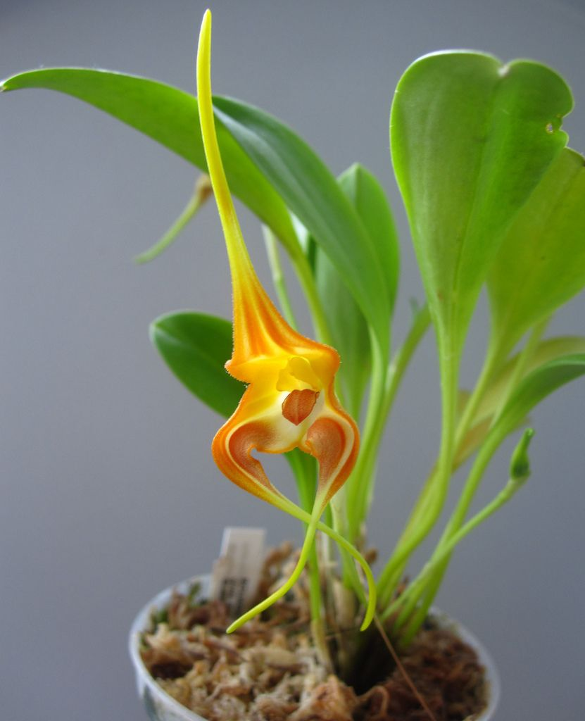Masdevallia norops orchids pinterest orchid flowers and plants