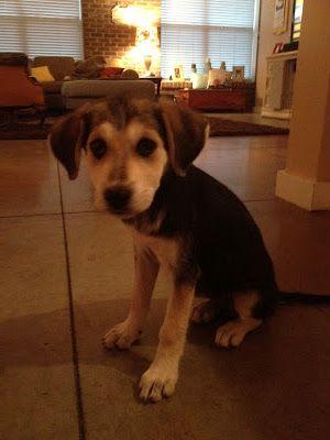 German Shepherd Beagle Mix Scruffy Dogs German Shepherd Beagle