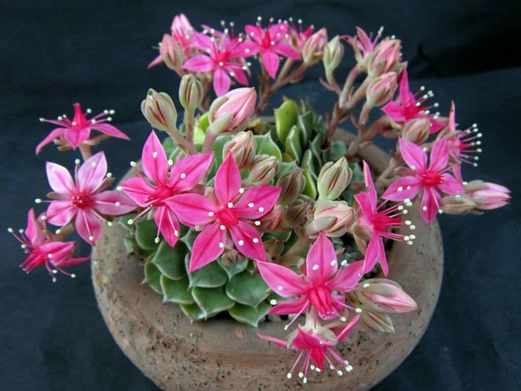 Graptopetalum bellum - Chihuahua Flower | Flower, Plants and Perennials