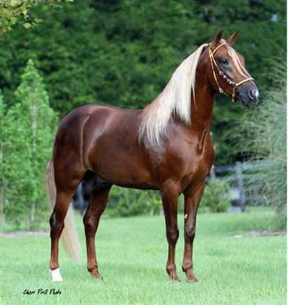 Paso Fino stallion, beautiful chocolate palomino color