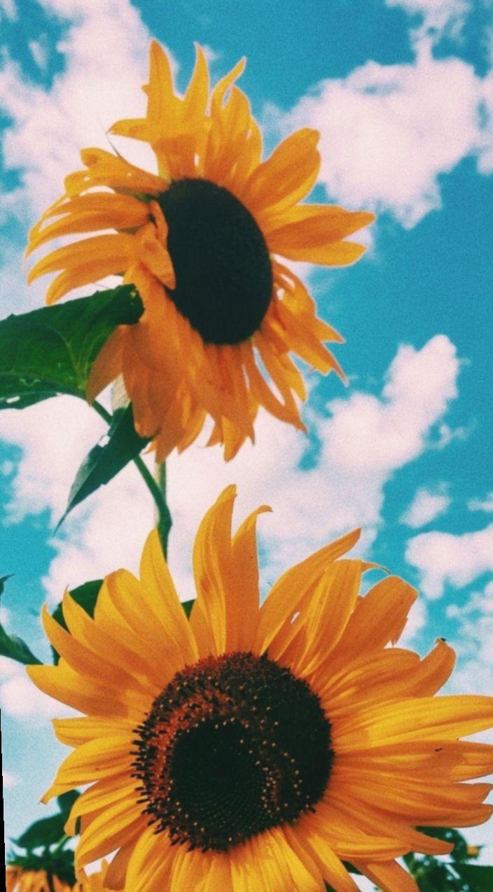 20 Cute Wallpapers Aesthetic Sunflower Sunflower Wallpaper Flower Iphone Wallpaper Flower Phone Wallpaper