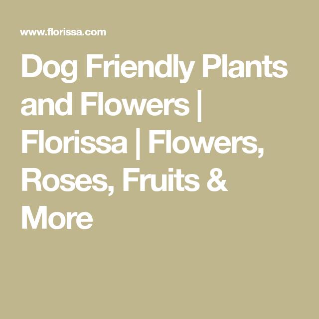 Dog Friendly Plants And Flowers Florissa Flowers Roses And More Dog Friendly Plants Dog Friends Friendly